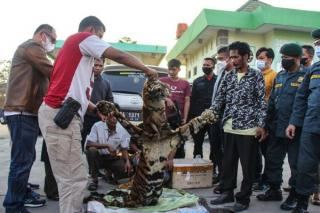 Tim Gabungan Polda Riau dan KLHK Berhasil Menangkap Empat Pelaku Perdagang Kulit Harimau Sumatera